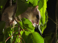 Siebenschläfer/Fat Dormouse or edible dormouse (Glis glis), Copyright K. Hinze